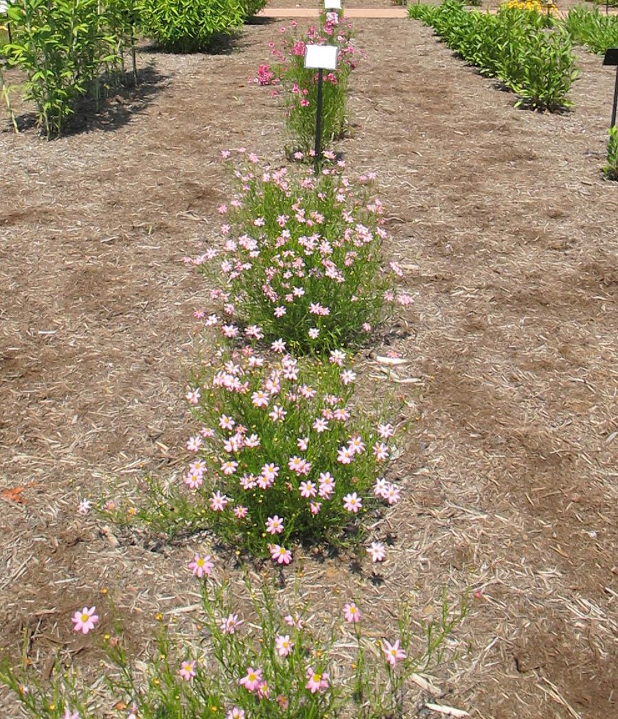 american dream rose bush